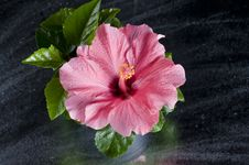 Free Beautiful Pink Hibiscus Flower Over Black Royalty Free Stock Photography - 21902727