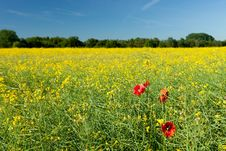 Free Rapeseed Field Royalty Free Stock Image - 21904696