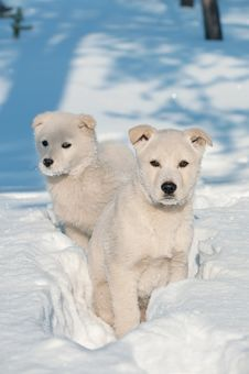 Free Two Puppies. Stock Images - 21906034