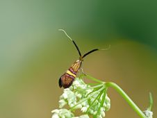 Free Colourful Longhorn Moth. Royalty Free Stock Photography - 21909077