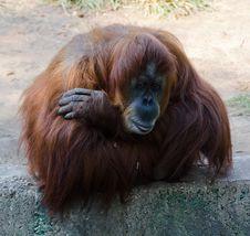 Free Orangotang Royalty Free Stock Images - 21910119