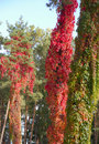 Free Red Wild Grape Royalty Free Stock Image - 21924486