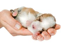 Free Newborn Puppy In The Caring Hands Stock Photography - 21929232