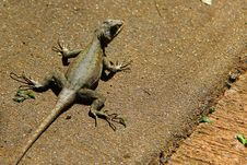 Lizard On The Ground Royalty Free Stock Photo