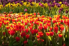 Free Field Of Tulips Stock Photography - 21929882