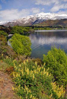 Free Yellow Luppins At Glendhu Bay New Zealand Stock Image - 21939151