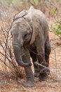 Free Baby Elephant Walking Stock Photography - 21947092