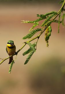 Little Bee-eater Stock Image