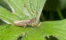 Free Grasshopper Stock Photography - 21945272