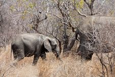Free Elephants Walking  Between The Bushes Royalty Free Stock Photos - 21945878