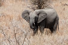 Free Elephant Standing Between The Bushes Royalty Free Stock Photography - 21945897