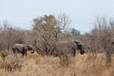 Free Elephants Walking  Between The Bushes Stock Photos - 21946203