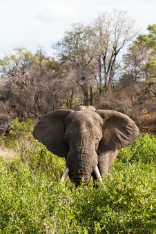 Free Elephant Standing The Bushes Royalty Free Stock Photos - 21946478