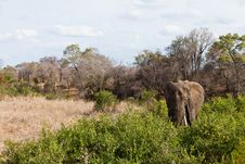 Free Elephant Standing Between The Bushes Royalty Free Stock Photography - 21946487
