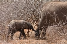 Free Young Elephant Holding Her Mothers Tail Royalty Free Stock Photography - 21946797