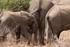 Free Elephants Walking  Between The Bushes Royalty Free Stock Images - 21946819