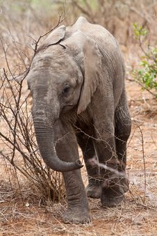 Free Baby Elephant Walking Stock Photography - 21947092