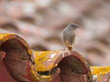 A Black Redstart On The Roof Royalty Free Stock Images