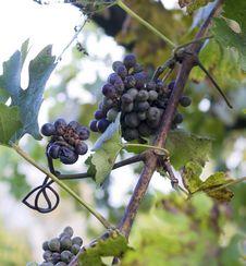 Free Grape Stock Photos - 21949653