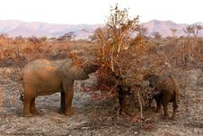 Free Elephants Feeding  Between The Bushes Royalty Free Stock Images - 21949719