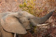 Free Elephant Eating Leaves From A Tree Stock Photography - 21949722