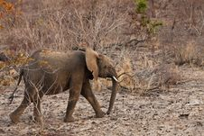 Free Elephant Walking  Between The Bushes Royalty Free Stock Photo - 21949785