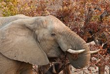 Free Elephant Eating Leaves From A Tree Royalty Free Stock Photo - 21949805