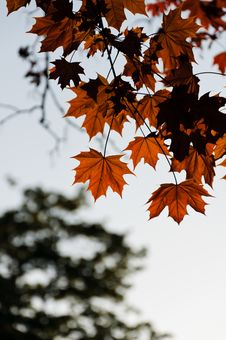 Free Maple Leaves In Autumn Stock Images - 21949984