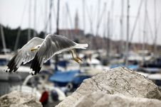 Free Seagull Stock Photo - 21950140
