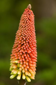 Torch Lily - Kniphophia Uvaria - Red Hot Poker Royalty Free Stock Photos