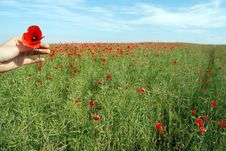 Free Field Of Poppies Stock Image - 21954011