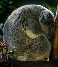 Free Sleeping Young Koala Royalty Free Stock Photo - 21955635