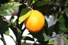 Free Ripe Orange Stock Photo - 21964740