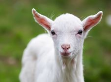 Free The Small Goat Stock Photography - 21966562