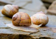 Free Snails On Stones Royalty Free Stock Photos - 21966638