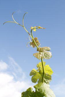 Free Grapevine Against Blue Summer Sky Stock Photo - 21969000