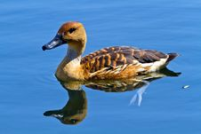 Free Wild Duck In The Lake Stock Photography - 21969822