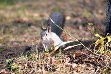 Free Squirrel Royalty Free Stock Image - 21971976