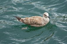 Free Seagull Swimming Stock Image - 21972211