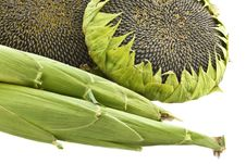 Free Sunflowers And Corn. Royalty Free Stock Photo - 21972575
