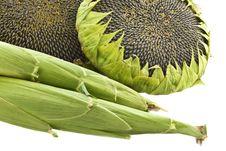 Sunflowers And Corn.
