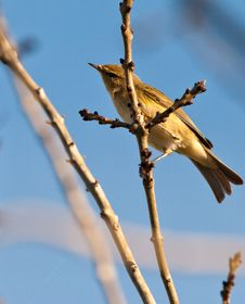 Free A Curious Chiffchaff Royalty Free Stock Photography - 21975287