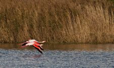 Two Greater Flamingos In Flight Royalty Free Stock Image
