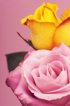 Free Two Roses On A Pink Background With Leaves. Stock Image - 21975331