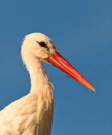 Free Portrait Of A White Stork Royalty Free Stock Images - 21975379