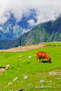 Free Wild Red Cow In Himalaya Mountains Royalty Free Stock Photos - 21981978