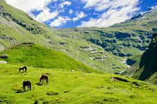 Wild Horses In Himalaya Mountains Stock Photography