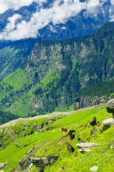 Free Himalaya Mountains Landscape With Wild Cows Stock Image - 21981981