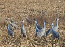 Free Sandhill Cranes Stock Photos - 21982703