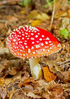 Free Fly Agaric Stock Images - 21983294